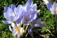 Eskala Yaylasında Vargit Çiçekleri