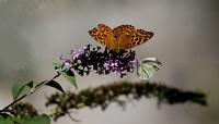 Kelebek Makro(kaçkarlar)