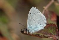 Kutsal Mavi (celastrina Argiolus)