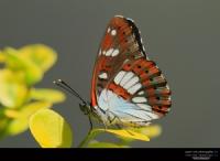... ::: Akdeniz Hanımeli  Kelebeği ::: ...