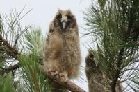 Kulaklı Orman Baykuşu