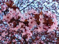 Bahar Dalı