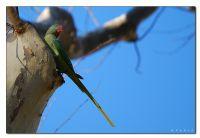 Büyük Yeşil Papağan