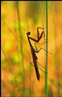 Mantis Religiosa (yaygın Peygamber Devesi)