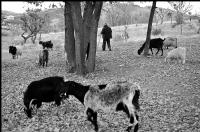 Çoban Ve Keçileri