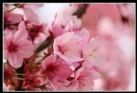 Sakura - Kiraz Ağacı Çiçeği
