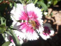 Çalışkan Arı