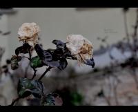 Kuru Güller