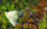 Kelebekler...