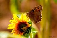 Kelebek Ve Ayçiçeği