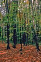 Belgrad Da Ağaçlar