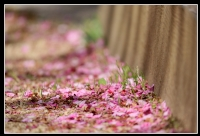 Sakura'nın İntiharı