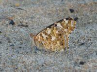 Kelebek Iıı