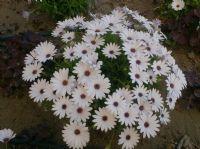 Beşgözde Çiçekler.