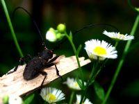Koç Böceği