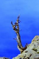 Ardıç Ağacı, Denizli Bozdağ