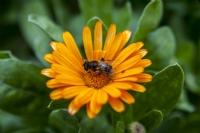 Çiçekteki Arı