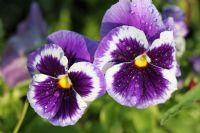 Çiçek Ve Su