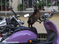 Tombol Kedi