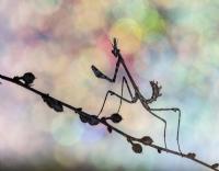 Bir mantis... - Fotoğraf: Erdem Arif Yiğit